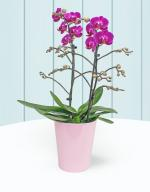 Phalaenopsis Orchids - Now 27